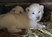 عکس روز | بچه شیرهای دوران کرونا