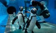 عکس روز | بازدید پنگوئنها از پارک دریایی