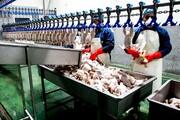 صادرات؛ داروی شفا بخش صنعت مرغ مازندران