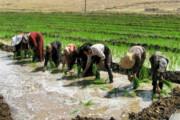 ضرورت کاهش کشت برنج   استفاده از آبهای زیرزمینی برای برنجکاری ممنوع