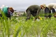 بیش از ۷۸ هزار کشاورز گیلانی محصولات خود را بیمه کردند