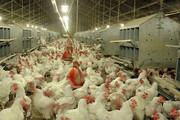 اختصاص۲ هزار و ۵۰۰ تن ذرت و کنجاله سویا به مرغداریها
