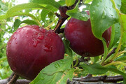 آغاز برداشت میوههای تابستانی از باغات فارس