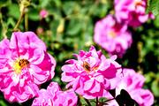 آغاز برداشت گل محمدی از گلستانهای خنداب