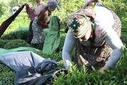 پایان برداشت چین بهاره برگ سبز چای در گیلان
