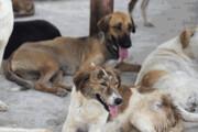 تعدد سگهای بدون صاحب در تبریز؛ قصور مسئولان یا اصرار دوستداران حیوانات
