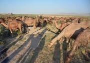 پرورش ۱۷۰۰ نفر شتر در آذربایجان شرقی