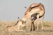رهاسازی ۵ گورخر در پارک ملی کویر پس از ۳۷ سال