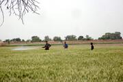 بررسی اثرات کرونا بر بخش کشاورزی گناوه