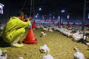 حل مشکل مرغداران با اتصال سامانه سماصط به بازارگاه | مرغها از گرسنگی به یکدیگر حمله میکنند