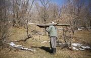 منبع درآمد جدید برای روستاییان اردبیل | هر درخت، یک میلیون تومان!