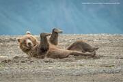 تصاویر | نامزدهای بهترین عکسهای طنز حیات وحش