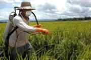 مبارزه با سن غلات در ۸۶ هزار هکتار از مزارع