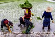 معرفی سه رقم جدید برنج تا پایان سال ۱۴۰۰