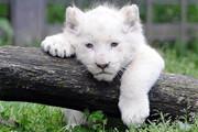 جداسازی بچه شیر سفید از مادرش