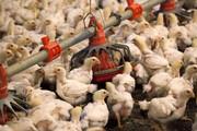 روزانه ۱۰ تن مرغ در شهرستان بروجن تولید میشود