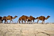 ایرانشهر قطب پرورش شتر در سیستان و بلوچستان