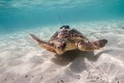 حفاظت از لاکپشتهای در معرض انقراض استان بوشهر جدیتر میشود