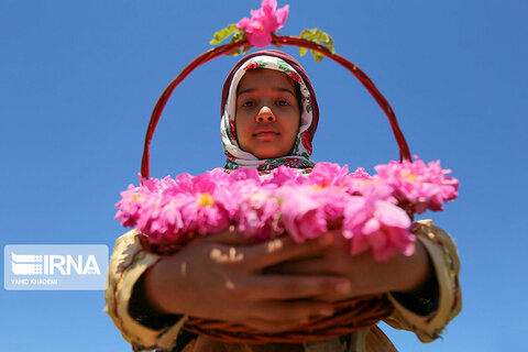برداشت گلمحمدی