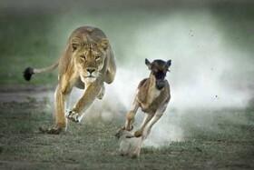 نکته راز مهمی که در شکار آهو توسط شیر نهفته است