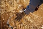 ۱.۵ میلیون تن گندم در کردستان تولید میشود