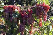 پیشبینی تولید ۳۷۰ هزار تن انگور در قزوین