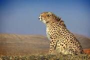 کدام گونههای حیات وحش کشورمان در معرض انقراض هستند؟