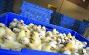 ۸۵۳ هزار قطعه جوجه به افغانستان صادر شد
