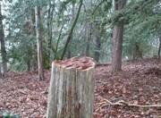 گلایه رئیس دادگستری از قطع درختان سرخدار برای ساخت قلیان