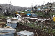 حمله خرسهای گرسنه به یک زنبورستان در مشگینشهر