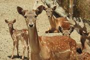 تولد ۳ راس گوزن زرد ایرانی در پارک وحش اراک
