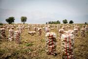 ارزانی سیبزمینی دسترنج کشاورزان گلستانی را به باد داد