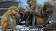 میمونها در هند نمونه خون بیماران مبتلا به کووید-۱۹ را دزدیدند