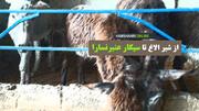 فیلم | از شیر الاغ تا سیگار عنبر نسارا | اینجا یک مزرعه پرورش الاغ است