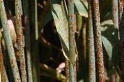 گرمای همدان، خطر زنگ گندم را از بین برد