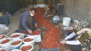 طلای سرخ کردستان، همچنان در صدر | دلالان، دسترنج بهرهبرداران را به تاراج میبرند