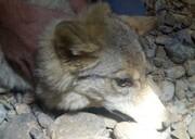 فیلم | گرگی که از حمله سگهای ولگرد به انسان پناه برد!