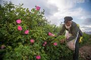 گرمای هوا بازارغنچههای گلمحمدی در خراسان شمالی را سرد کرد