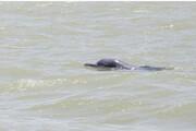 حضور دلفینهای گوژپشت در آبهای آبادان