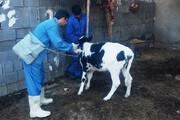هشدار به دامداران | شیوع بیماری دامی لمپیاسکین را جدی بگیرید