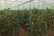 رتبه دوم یزد در تولید محصولات گلخانهای کشور