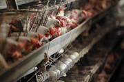 تولید گوشت مرغ ۴۷ هزار تن کسری دارد