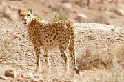 افزایش نگرانی ها از بیابانی شدن محلزیست یوزها   شکارچیان در لباس شکاربان!