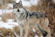 گرگها در پالایش طبیعت سهم بسزایی دارند