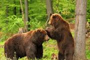 فیلم   صحنهای زیبا از بازی دو خرس بالغ
