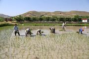تصویر   نشای برنج، دسترنج مردم روستای بابا امان