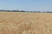 خسارت سنگین وزش بادگرم به گندمزارهای بیلهسوار