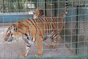 تحویل سه قلاده ببر باغوحش مشهد به عراق