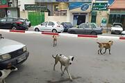 جمعآوری سگهای ولگرد بر عهده شهرداریهاست
