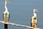 ثبت جوجهآوری پرنده باکلان مارگردن در خاورمیانه توسط یک محیطبان